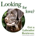 Looking for Love (Chocolate Lab)