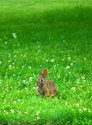 Rabbit in Clover
