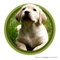 Yellow Labrador Retriever Puppy Art