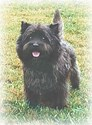 Great Cairn Terrier Patriarch!